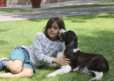 Perros springer spaniel muy cariñosos con niños