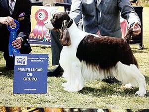 Perro springer ganando primer lugar de grupo