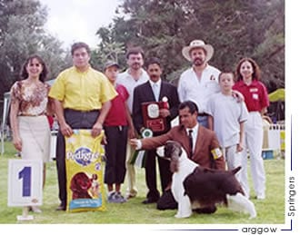 perro springer spaniel ingles ganando Cría Mexicana