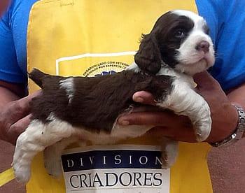 Arggow Lucas is the winer cachorro a las 6 semanas